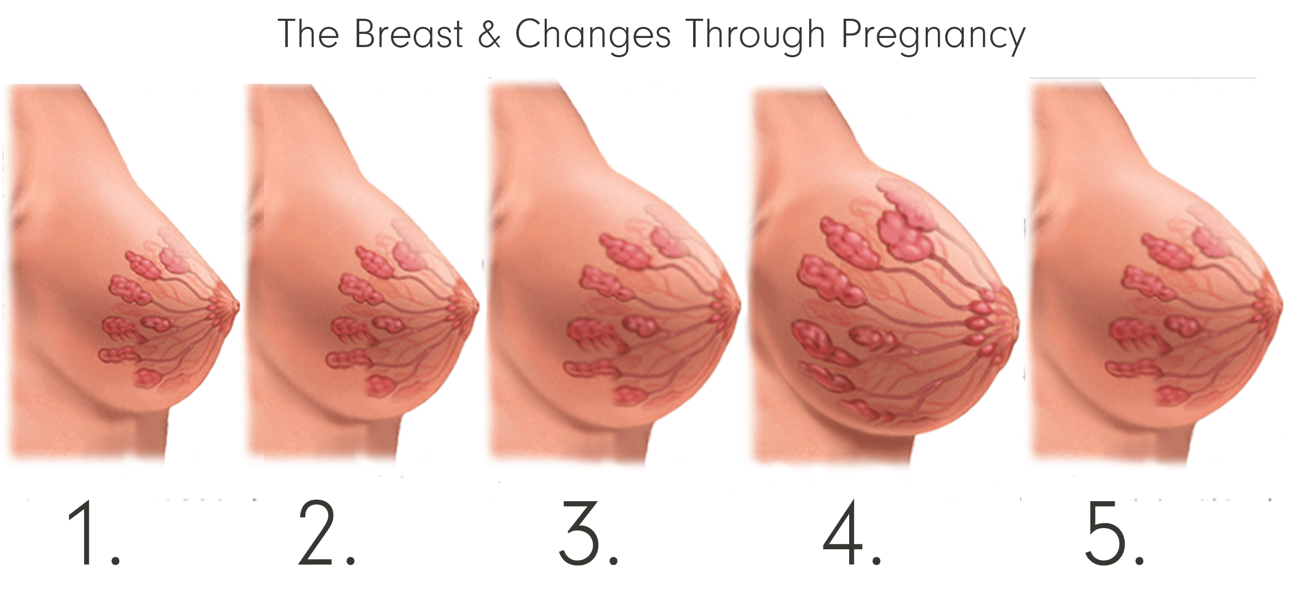 The Breast & Changes Through Pregnancy